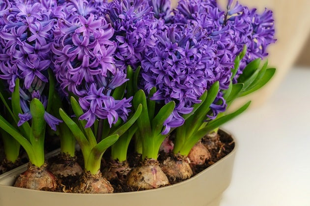 Hyacinth Blue Jacket Forced Indoors