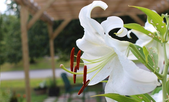 Growing Lilies with the Casa Blanca Oriental Lily