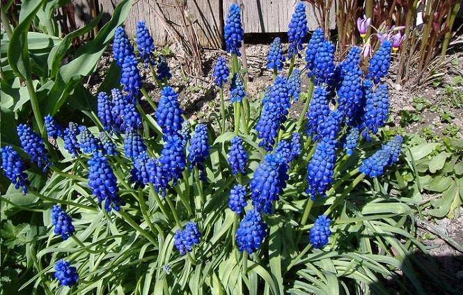 Growing Muscari armeniacum can bring Pollinators to your garden