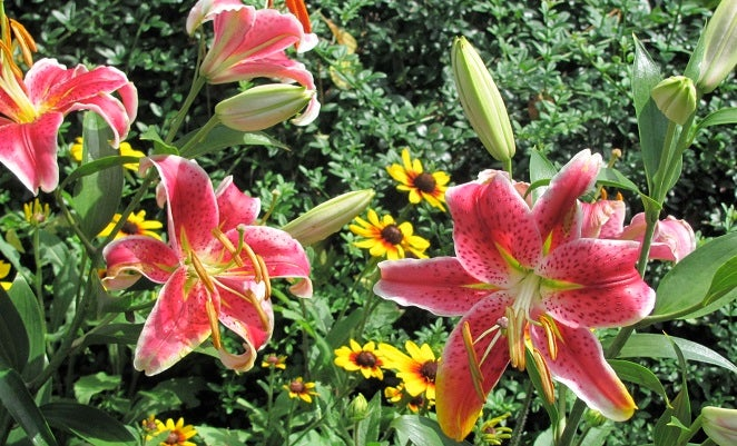 Growing Lilies:Oriental Lily Stargazer