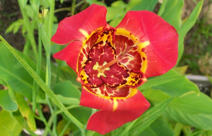 Growing Tigridia or Mexican Shell Flower
