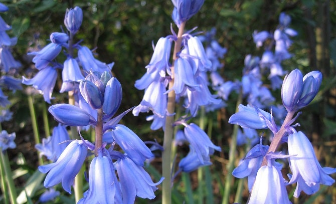 Growing Hyacinth: Spanish Bluebells or Woodland Hyacinth