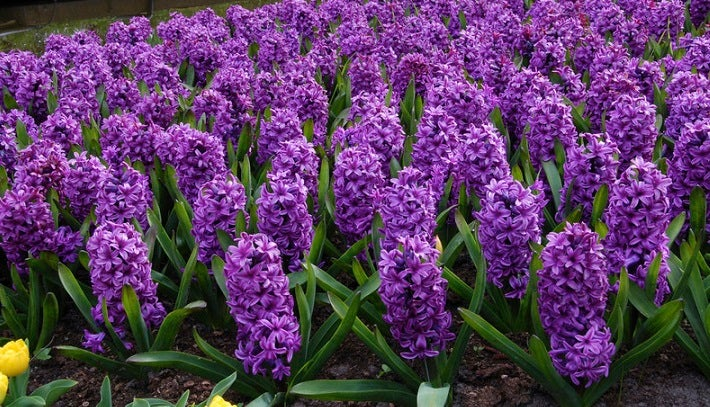 Growing hyacinth miss saigon can be used for an early spring dramatic meadow effect