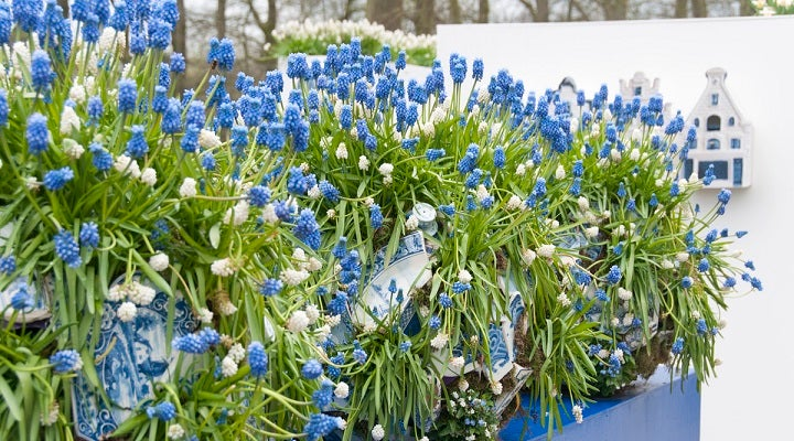 Growing Muscari Delft Blue in Container or Raised Bed