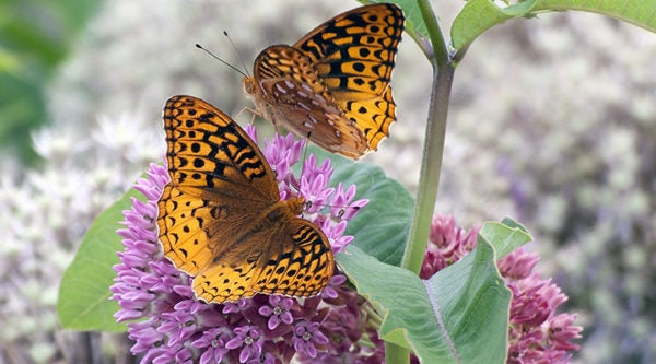 Purple Milkweed With Butterfly