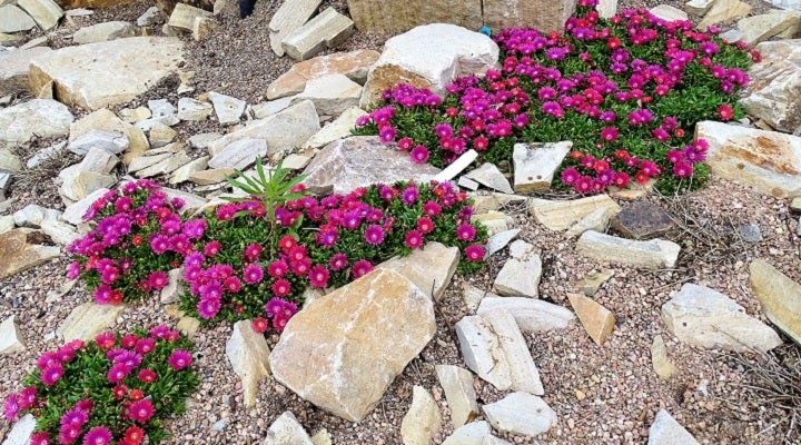 Delosperma Granita Raspberry Plants From Plant Select®