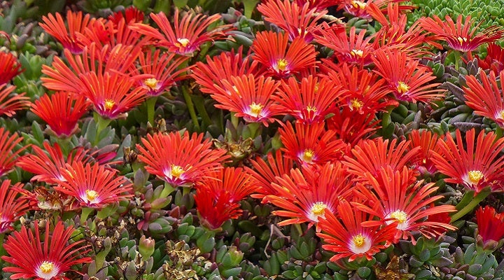 Red Mountain® Flame cold hardy Iceplant Plant Select®