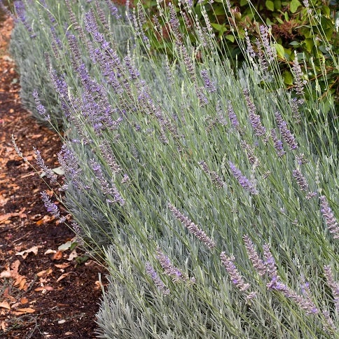 Fred Boutin French Hybrid Lavender