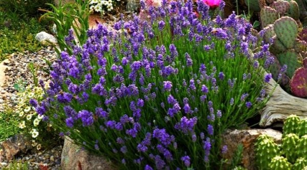 Wee One English Lavender