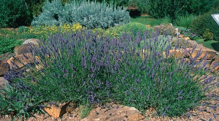 Lavandula intermedia Grosso is good for Oil Production