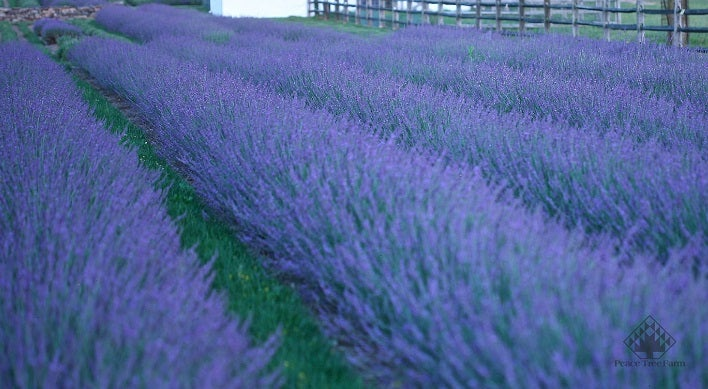 Lavender Phenomenal Field