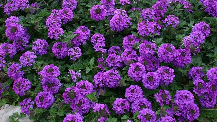 Verbena Valley Lavender® Plains Verbena Plant Select®