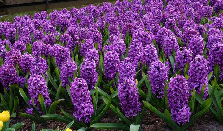 Hyacinth Flower Bulbs