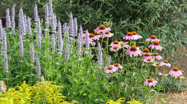 Echinacea purpurea and Agastache Blue Fortune
