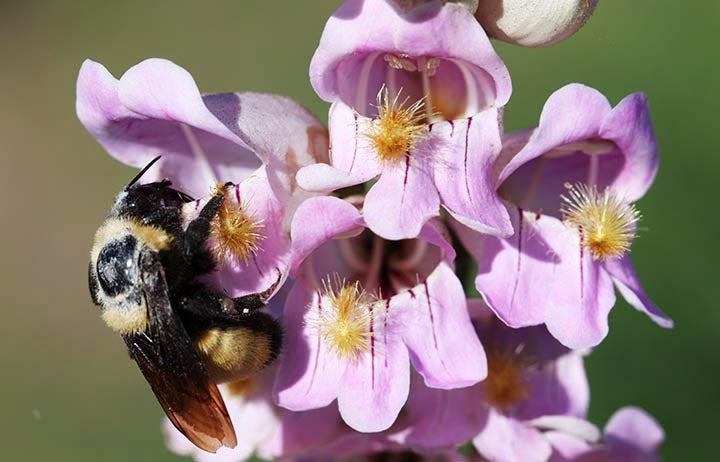 Bees pollinating Pink Penstemon
