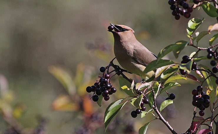 Waxwing bird on a shrub