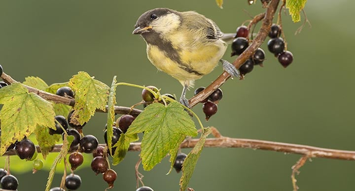 Bird visits a berry tree