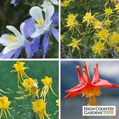 Columbine Perennial Collection