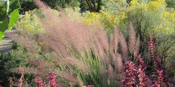 Rabbitbrush (Chrysothamnus) + Muhly Grass + Agastache illustrate layering shrubs, ornamental grass, and herbaceous perennials in garden design.