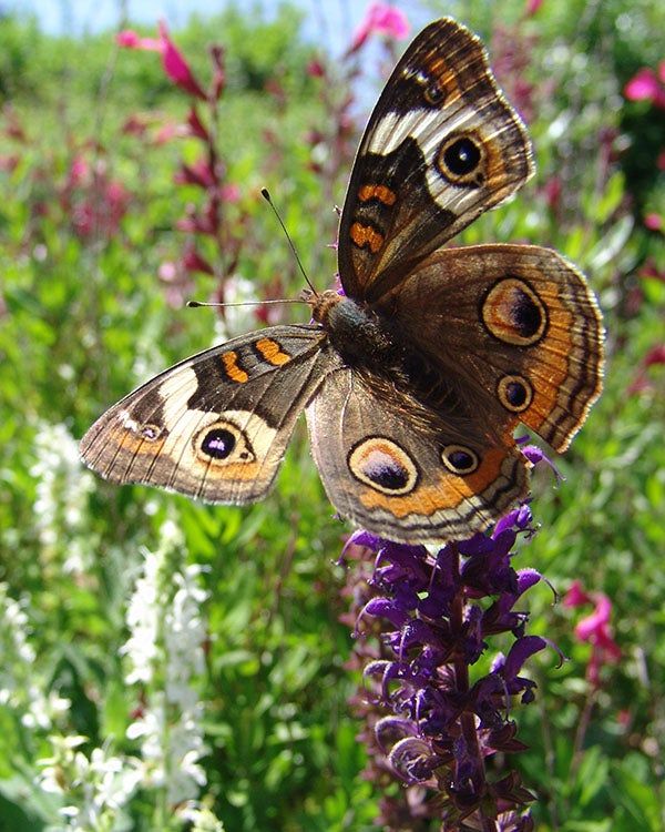 A Buckeye Butterfly in a garden filled with Salvia (Sage). Photo by L. Miller.