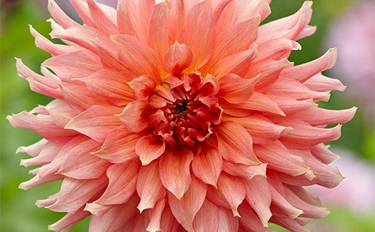 Fairway Spur Dahlia