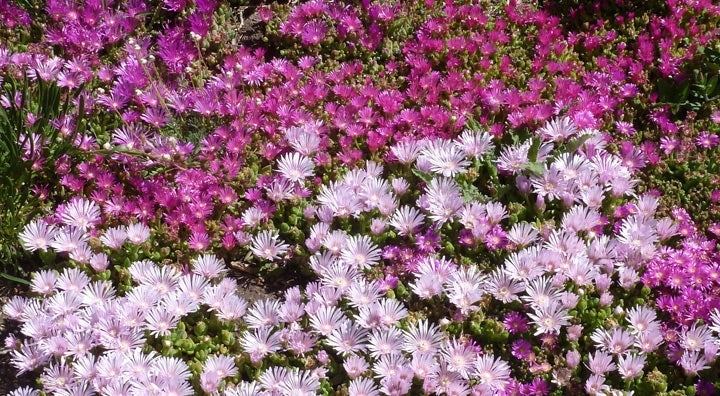 It's important to allow succulents such as Delosperma (Ice Plant) to dehydrate over the fall months.