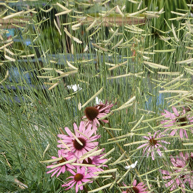Echinacea tennesensis with Blonde Ambition Grass