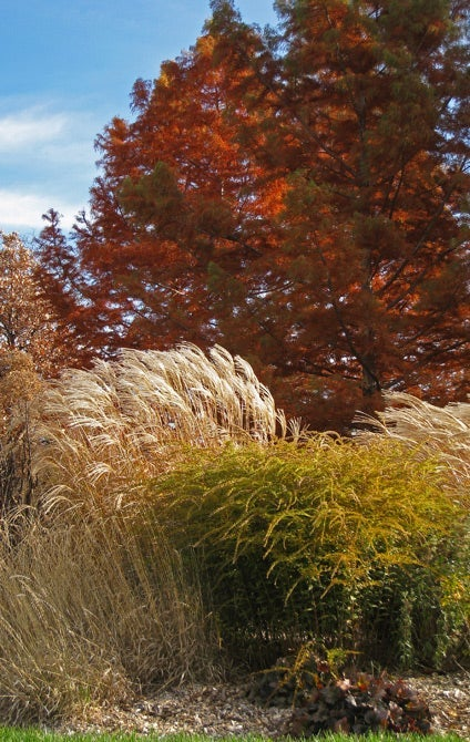 The fall garden with Miscanthus Sinensis and Solidago Ornamental Grasses