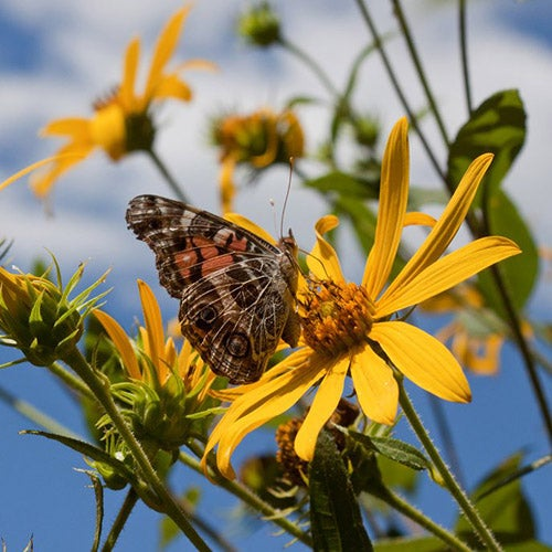 Helianthus maximiliana and Painted Lady Butterfly. Photo by Kim Mitas.