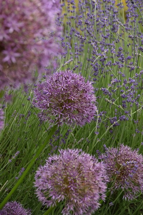 Allium (Ornamental) & Lavender - two purple flowers planted in the garden