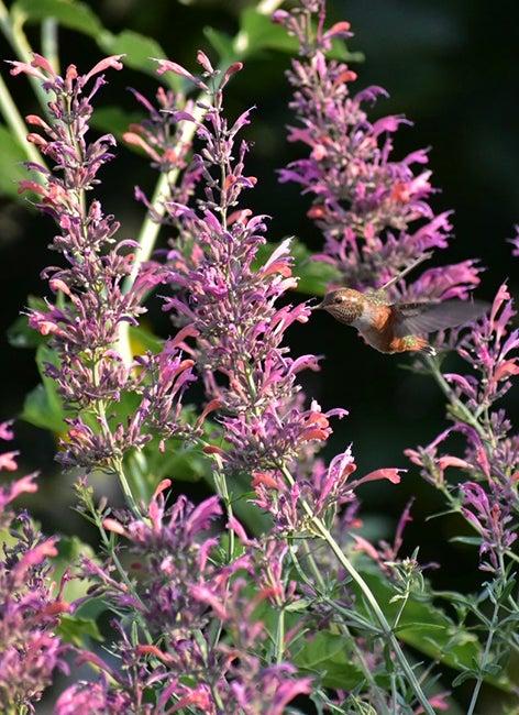 Hummingbird & Agastache By Dylan Tucker