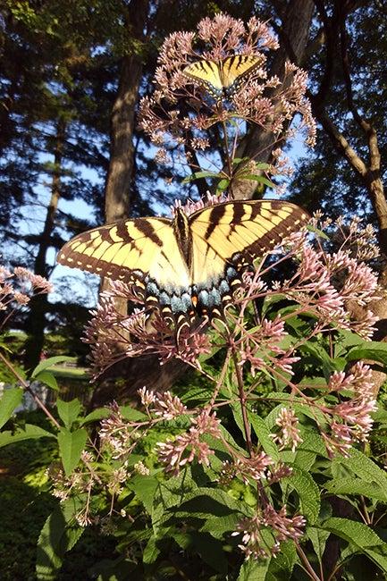 Swallowtail Butterflies & Joe Pye Weed By Kathleen Conner
