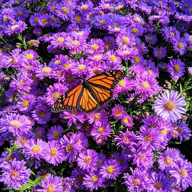 Monarch & Aster By Samantha Mostek