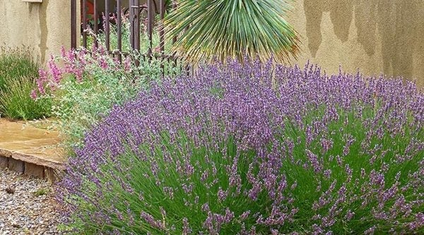 Lavender does well against south-facing walls or on a sloped area