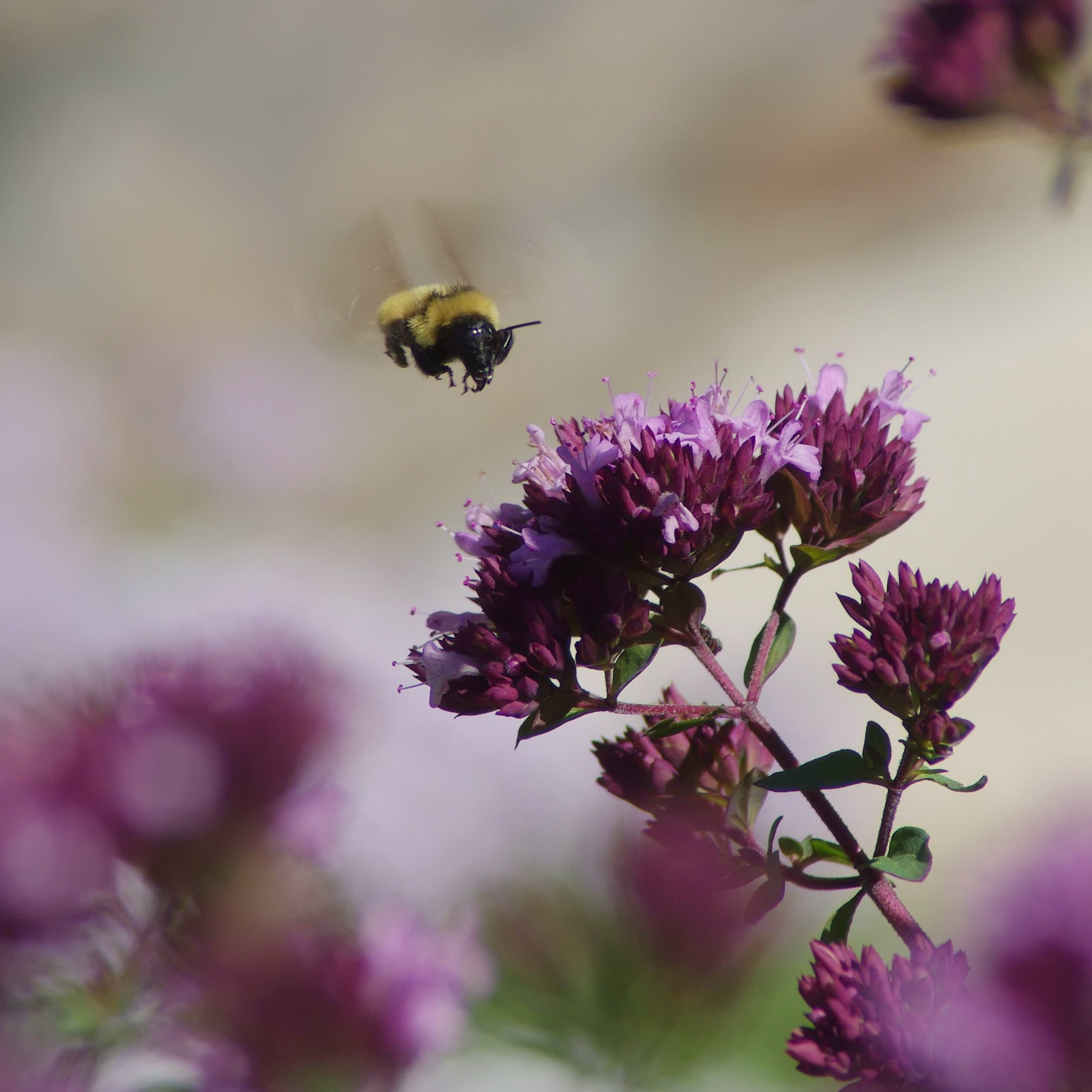 Origanum and Bee. Photo by Emmis Oure.