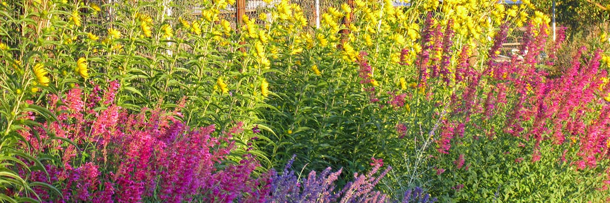 Chief Horticulturist David Salman's Santa Fe garden features many waterwise native plants, including Helianthus and Agstache.