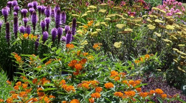 Liatris (Blazing Star), Asclepias tuberosa (Butterfly Weed) and Achillea (Yarrow)