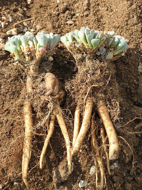 aloinopsis spathulata tap roots