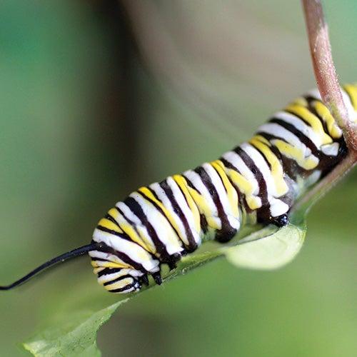 asclepias caterpillar