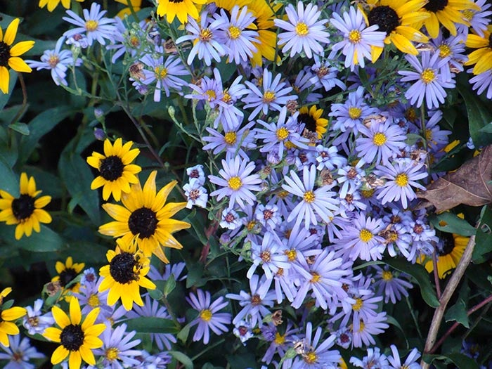 Close up of Aster Bluebird with Rudbeckia