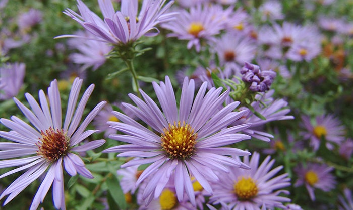 Close Up Of Raydon's Favorite Aromatic Aster