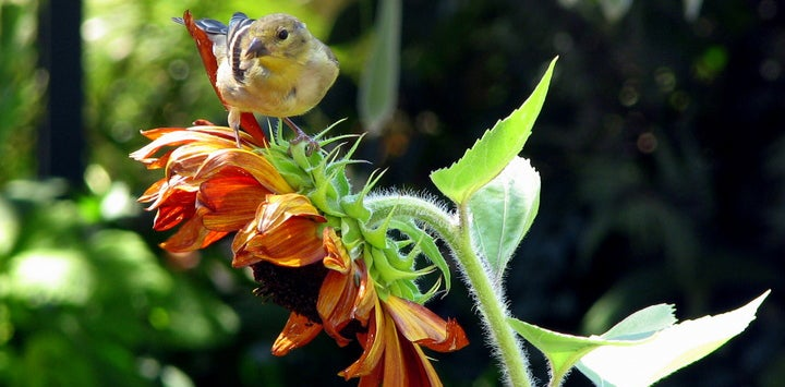 Goldfinch With Sunflower