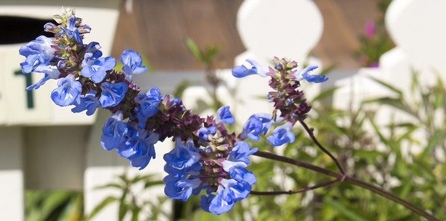 Bog Sage (Salvia uliginosa)