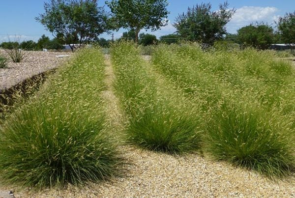 Blonde Ambition Grass in Municiple Planting in New Mexico