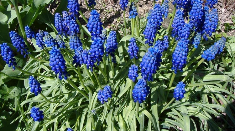 "Muscari armeniacum (Grape Hyacinth) is a fall-planted bulb recommended for dry or drought conditions, and its 1"" flower clusters start blooming late spring and continue into early summer."