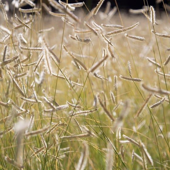 'Blonde Ambition' Blue Grama Grass (Bouteloua gracilis)