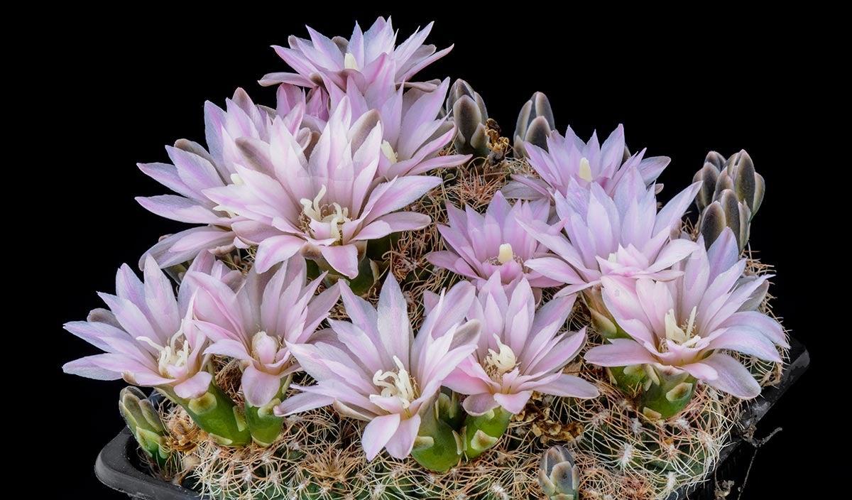 Minature Chin Cactus (Gymnocalycium bruchii)