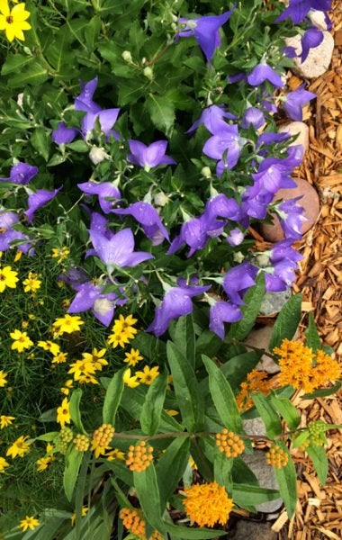 Campanula (Bluebells), Moonbeam Coreopsis (Tickseed), Asclepias tuberosa (Butterfly Weed)