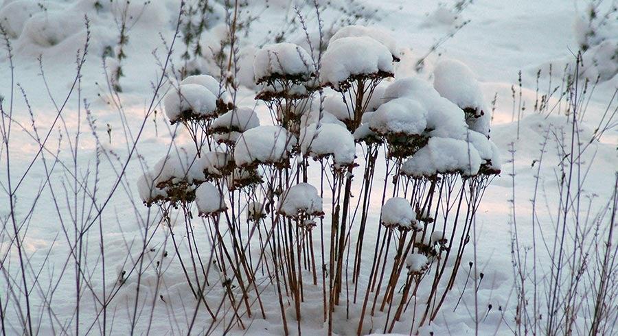 Sedum Seedheads covered in Snow