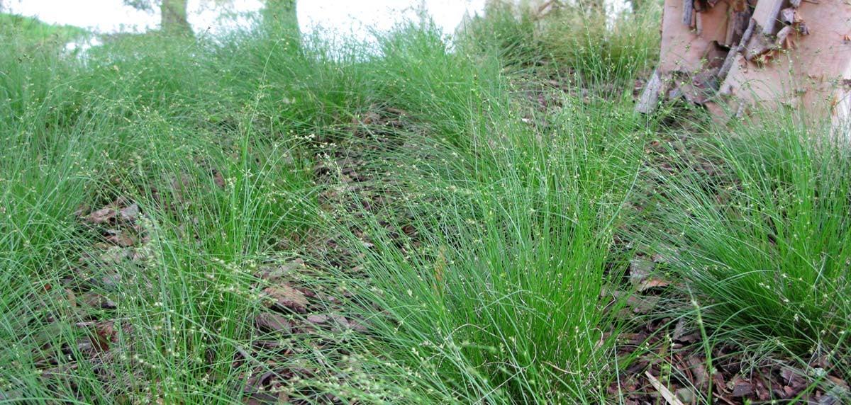 Appalachian Sedge (Carex appalachica)